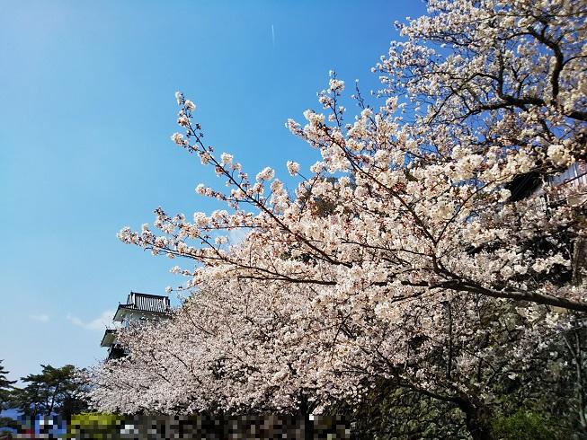 大村 城と桜